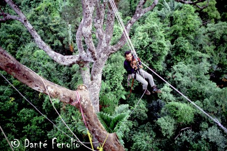 Here is a view from an emergent tree. Nouie Baiben crosses a rope we have tied between two emergent trees. Notice the treetops many feet below Nouie, those are the tree tops of the upper canopy, roughly 19 meters (~57 feet) in height.