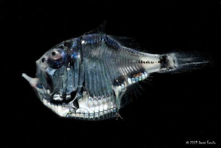 Hatchetfish bioluminescence - photo#26