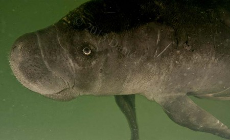 Amazon Manatee (Trichechus inunguis)