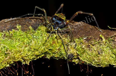 Chilean Opilionid