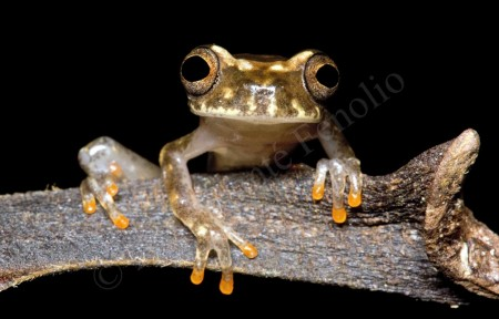 Ross Allen's Treefrog (Dendropsophus rossalleni)