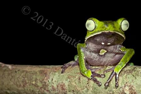 Silver-eyed Monkeyfrog (Phyllomedusa vaillantii)